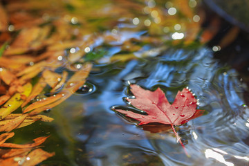 Maple leaf on water with other leaves. © muratani