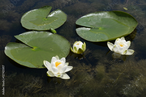 Poster su nilüfer çiçekleri