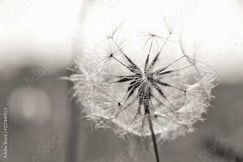 Pusteblume © Susen Reuter