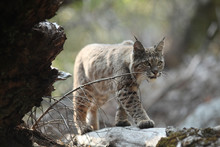 la chasse Bobcat