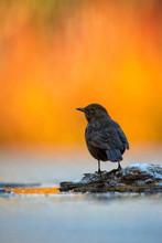 Blackbird in Light Vivid