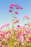 fleurs des champs, cosmos
