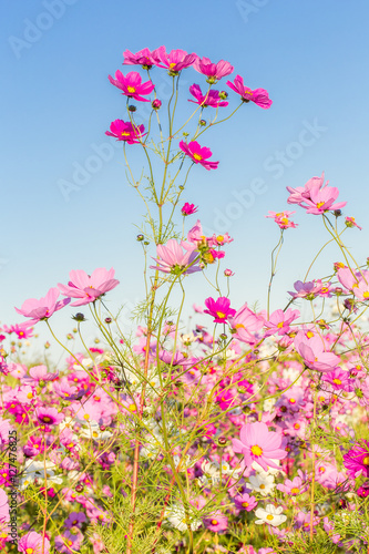 Póster fleurs des champs, cosmos
