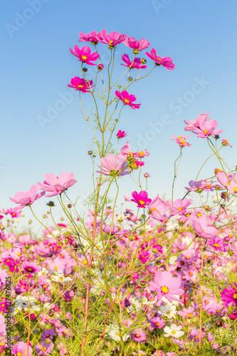 Zdjęcia fleurs des champs, cosmos