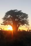 The baobab tree at sunset