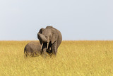 Elephant with calf in the grass of the savannah