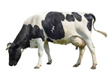 Funny cute cow isolated on white. Talking black and white cow. Funny curious cow. Farm animals. Cow, standing full-length in front of white background, Pet cow on white. - 127491618