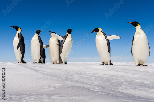 Plakát A gang of Emperor penguins cheering on ice