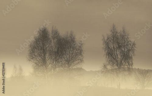 Brzozy we mgle