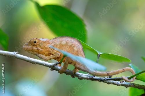 Staande foto Kameleon Parson's chameleon (Calumma parsonii)