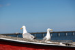 Two seagulls pose on fishing boat
