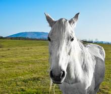 beau cheval blanc qui paissent dans une prairie