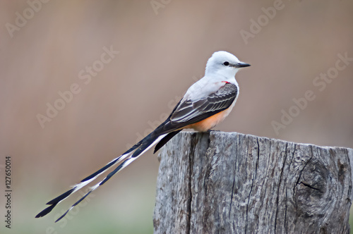 Poster Scissor-tailed Flycatcher