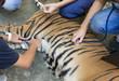 veterinarian treat the tiger