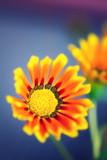 Gazania flower, close up