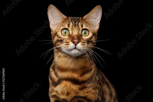 Zbliżenie portret Złocisty Bengalia kot z różyczką Patrzeje w kamerze Ciekawie na Odosobnionym czarnym tle