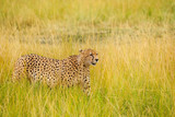 African cheetah walking in the long grass, Kenya