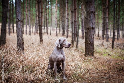 Poster Weimaraner Jaghund im Wald