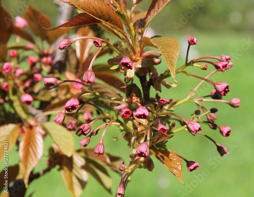 Poster Blooming branch of sakura. Cherry.