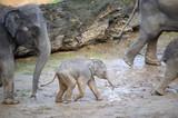 Baby elephant in a herd of elephants