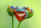 Fototapety Tree frog smile