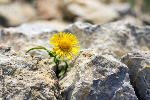 Poster Lonely yellow dandelion growing in small rocks