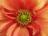 Red yellow dahlia flower. Macro. yellow pistils, stamens. Green Center. Nature. .