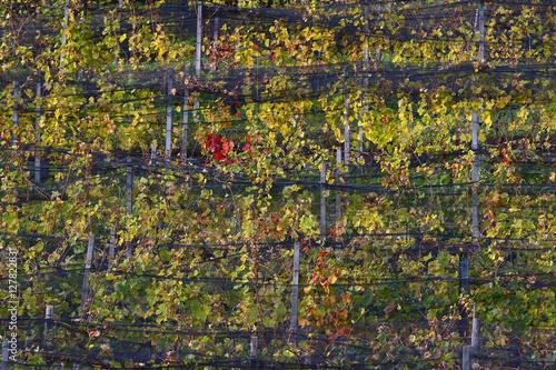 Poster Merlot vineyards autumn sunrise in central Europe