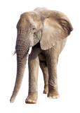 African Elephant Isolated on White - 127838092