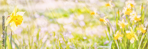 Daffodils , Spring Panorama