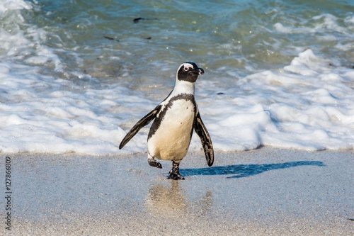 Fotobehang Zwaan African penguins walk out of the ocean on the sandy beach. African penguin ( Spheniscus demersus) also known as the jackass penguin and black-footed penguin. Boulders colony. Cape Town. South Africa