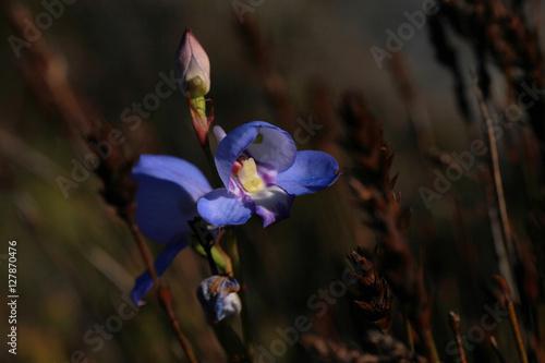 kolorowy detal - irys w ogrodzie