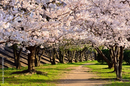 Poster 桜のトンネル