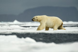 Polar bear in the nature. Big polar bear on drift ice edge with snow a water in Arctic Svalbard, Norway