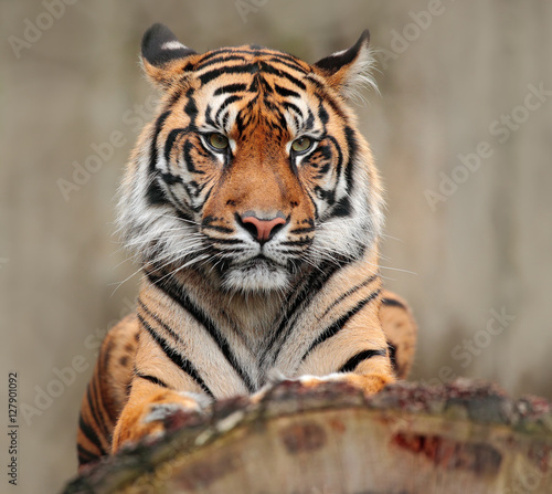 Tuinposter Eekhoorn Portrait of dangerous animal. Sumatran tiger, Panthera tigris sumatrae, rare tiger subspecies that inhabits the Indonesian island of Sumatra. Tiger sitting on the tree trunk. Big animal from Asia.