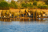 A herd of African elephants drinking at a waterhole lifting their trunks, Chobe National park, Botswana, Africa. Wildlife scene with big elephants in Africa. Safari in Chobe river area.