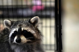 Raccoon out of  will