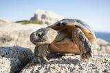 Schildkröte auf der italienischen Insel Sardinien.