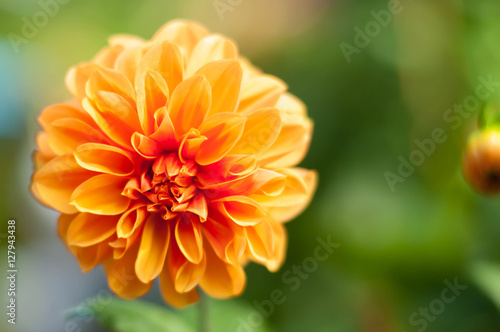 Fotobehang Vlinder Close up of a beautiful yellow Dahlia flower,copy space