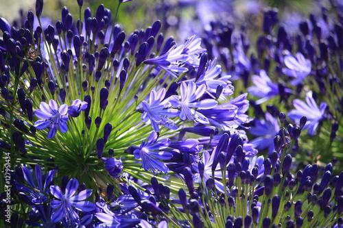 Fotobehang Lavendel agapanthe