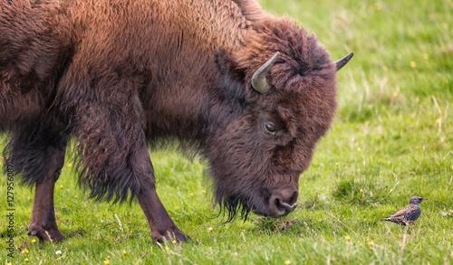 Fotobehang Bison Bison Buffalo Portrait