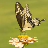 Giant Swallowtail butterfly feeding on a light orange Zinnia with green background