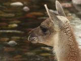 Cabeça de guanaco