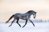 Andalusian grey horse in winter sunset - 127973028