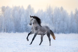 Andalusian horse on winter background - 127973034