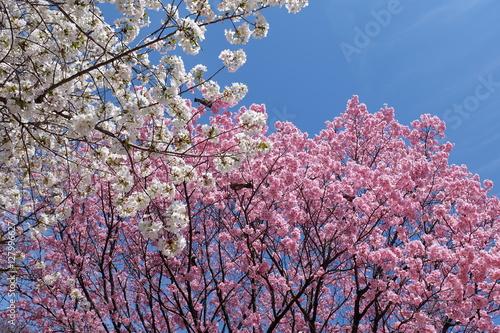 Poster 大島桜と陽光桜