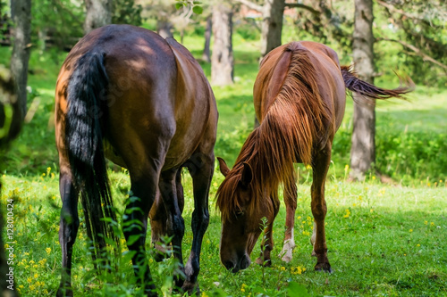 Poster Stallion and kabyla graze among the birches