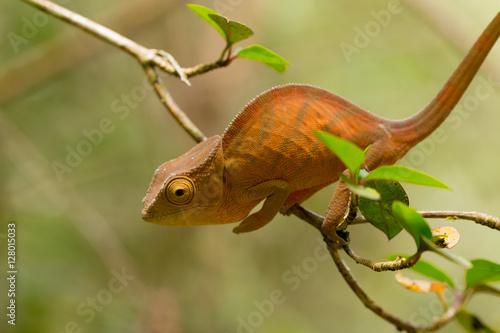 Fotobehang Kameleon Parson's chameleon (Calumma parsonii)