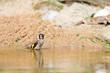 Bathing European goldfinch