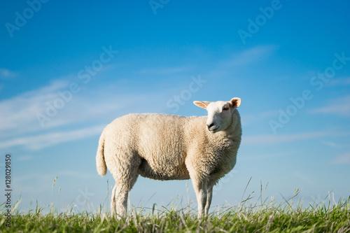 Einzelnes Schaf vor blauem Himmel